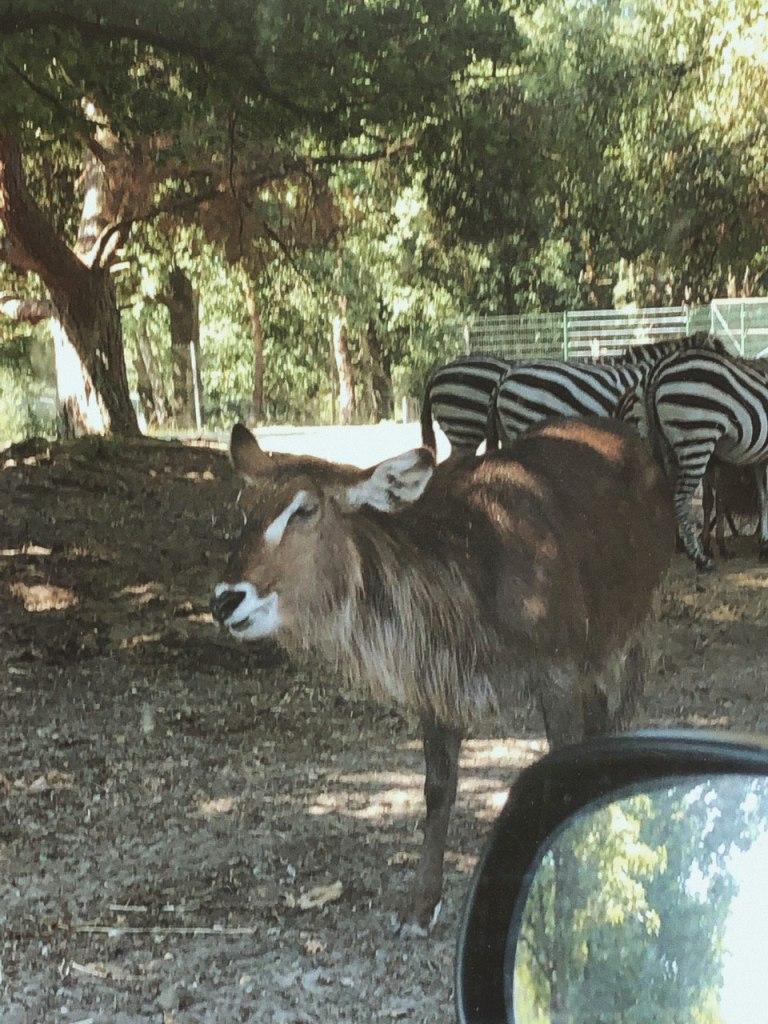 Een ellipswaterbok en een paar zebras in de Beekse Bergen