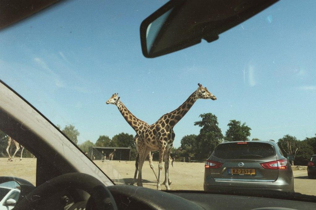 De Giraffen in de Beekse Bergen