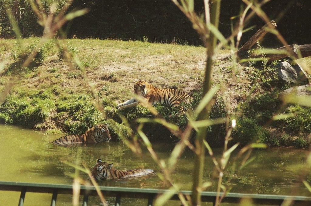 Zwemmende tijgers in de Beekse Bergen